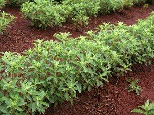 Растение, которое заменит сахар. Ее можно иметь в саду или на балконе