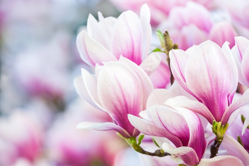 Magnolia - сорта, посадка, уход