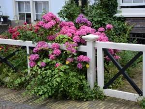 Королева польских садов: подробнее о гортензии