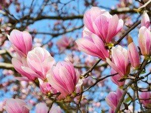 Magnolia - настоящая мисс сада