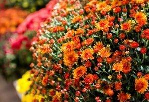 Время хризантем. Uatrakcyjnij ними осенний дом и сад. Их требования не большие, а красота – потрясающая. Узнай их секреты