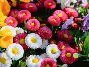Посеешь ромашки! К зиме вырастут, а весной будут цвести и украсят квартиру или сад