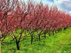 5 саженцев фруктовых деревьев, которые стоит иметь в саду