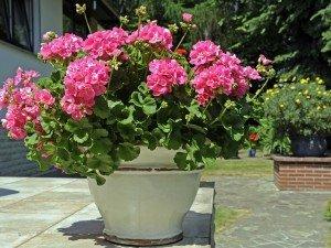 Все, что тебе надо знать об уходе пеларгоний на балконе, в саду и в доме. Читайте!
