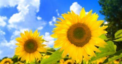 Подсолнухи - символы солнца