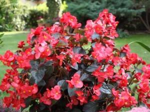 Бегония - растение, которое удивит вас