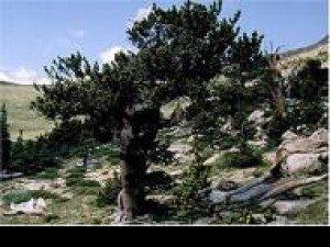 Знаете ли вы, что долго живущее дерево в мире-это сосна ościste?