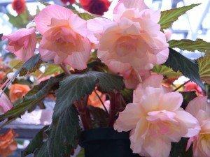 Бегония луковичные прекрасна, как роза, но менее капризны. Посмотреть, как ее выращивать и хранить зиму