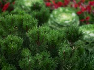 Сосна боснийский. Этот iglak растет медленно и имеет интересные сорта. Идеально подходит для небольших садов и на красили беседки