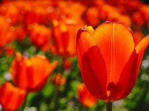 Когда сажать тюльпаны? Как их развивать? Ли луковицы тюльпанов нужно выкопать?