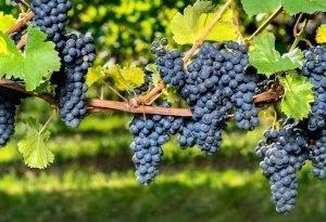 Вы хотите иметь виноград в саду - сама сделай саженцы