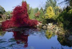 Вы хотите иметь красное дерево? Посади клен пальмовый