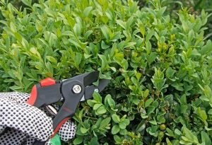 Bukszpanowy сад - сама подготовка к нему, саженцы