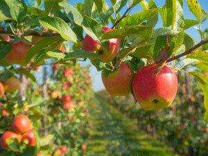 7 сортов яблок достойные команды