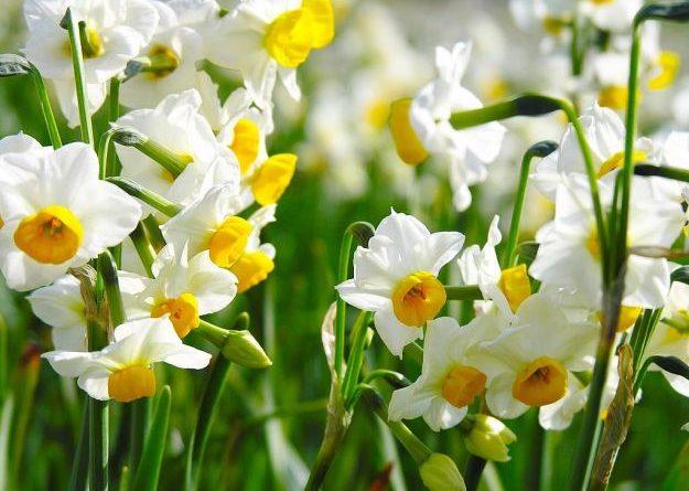 Растения луковых - весенний учебник садовника