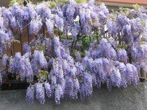 Знаете ли вы где растет самая большая цветущее растение в мире?