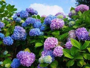 3 хитрости, которые сделают цветы гортензии меняют цвет