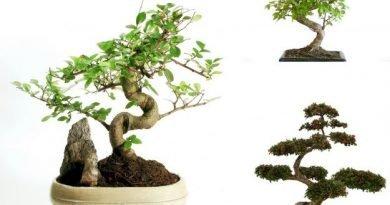 Бонсай - миниатюрное деревце