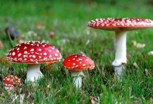Внимание! Этого гриба не собирать!