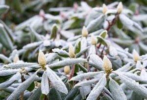 У вас в саду рододендрон? Подготовьте его к зиме!