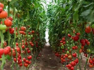 Я занимаюсь помидоры - это легко!