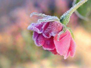 Защитите розы перед зимой