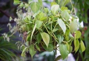 Зеленым цветом в тени. Комнатные растения, которые не должны иметь солнца