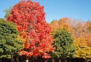 Клен - дерево, которое можно полюбить