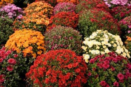 Упадок завод этой осенью - хризантемы