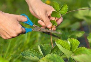 3 вида рассады клубники. Выберите самые лучшие и... весной собирать плоды!