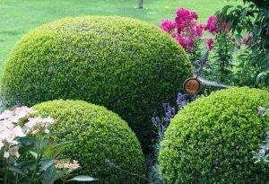 Кустарники декоративные вечнозеленые растения. Какие посадить?
