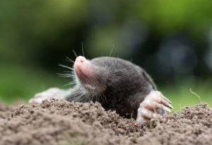 8 способов избавиться от крота. Уже не уничтожит вашего сада