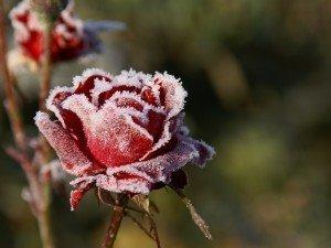 Цветы на балконе зимой, как защитить их от мороза и снега?