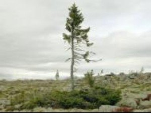 Знаете ли вы, что старое дерево в мире имеет 9550 лет?