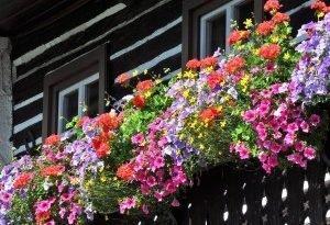 Балконные twardzielki - 5 надежных цветов на балкон