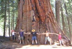 Знаете ли вы, что зерна самого большого дерева в мире размером с головку булавки?
