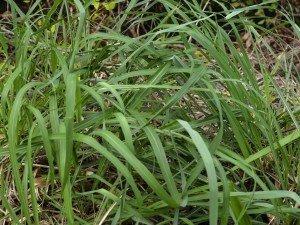 Трава с запахом лимона - ее можно иметь на балконе