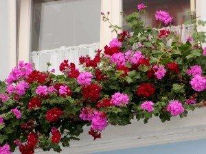 Самые красивые цветы на балкон солнечный. Как ухаживать за ними?