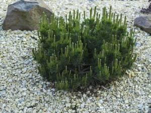 Красавица и полезны. 6 популярных сортов сосны, которые стоит посадить в саду