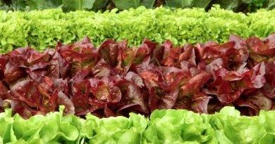 Как выращивать салат?