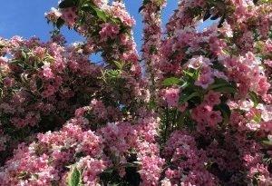 Самые красивые цветущие кустарники. Посадите хотя бы один!