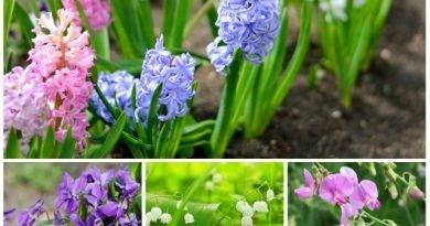 Душистые цветы на балкон и в сад