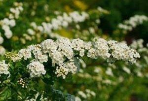 Tawuły - в кусты белого и розового. Вы можете посадить высокую и раннюю или более низкую, автоцветущие в конце лета. Исследуйте их