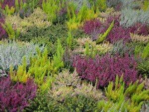 Верески цветут не только на wrzosowo. Интересные сорта и требования. Установите вереска версии мини или макси