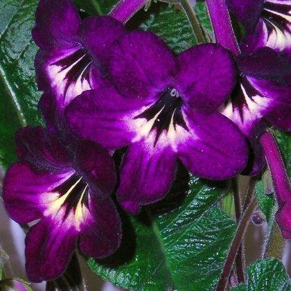Цветы в доме: Skrętnik