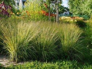 Модные декоративные травы в вашем саду и на балконе