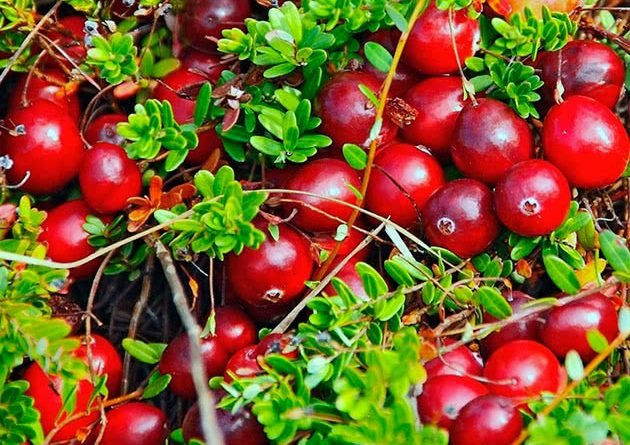 Клюква садовая посадка выращивание и уход