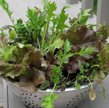 Руккола на подоконнике - выращивание рукколы зимой
