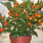 Выращивание хурмы в домашних условиях