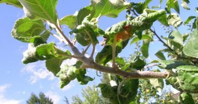 Яблоня листья скручиваются